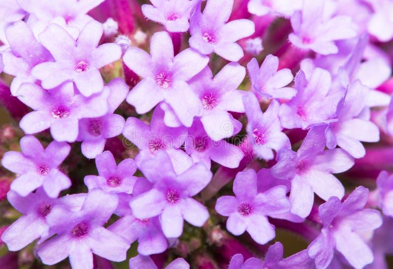 Violet Pentas Stock Photo