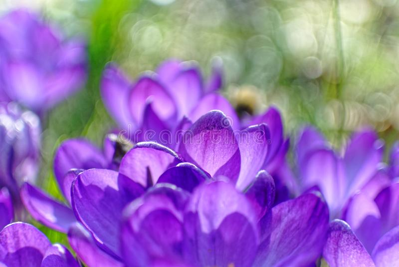 Violet petals Crocus bloom in garden, blurred image. Close-up of the tips of Crocus flower heads in a garden slightly blurred. Early spring expressions. Bokeh
