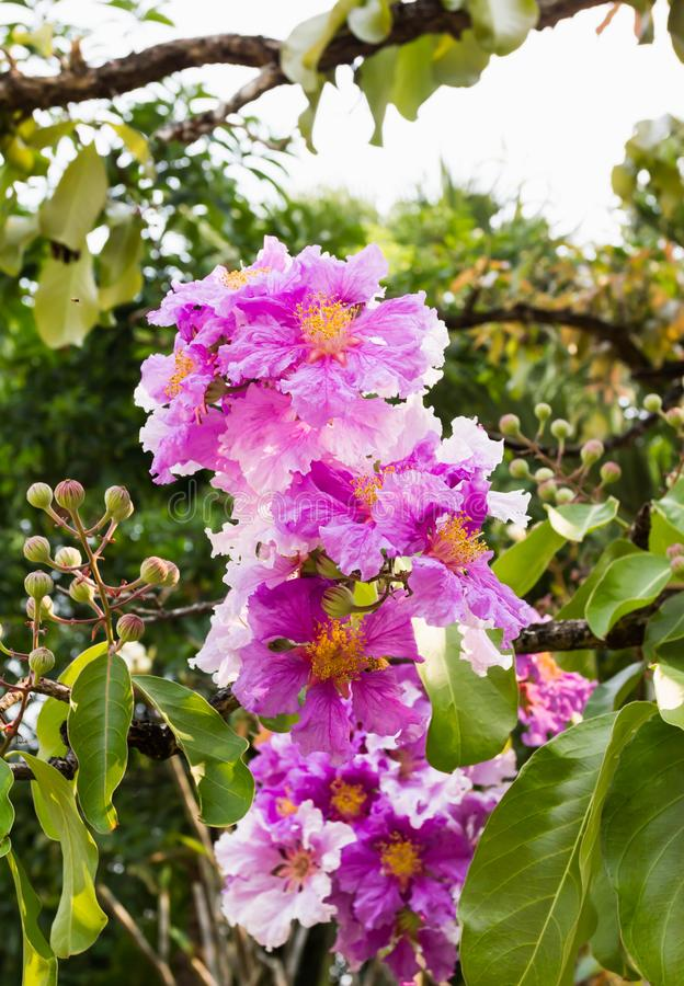 The violet pink Bungor flower bunch on tree in summer day light stock images