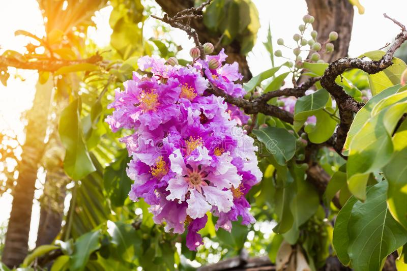 The violet pink Bungor flower bunch on tree in summer day light stock photos
