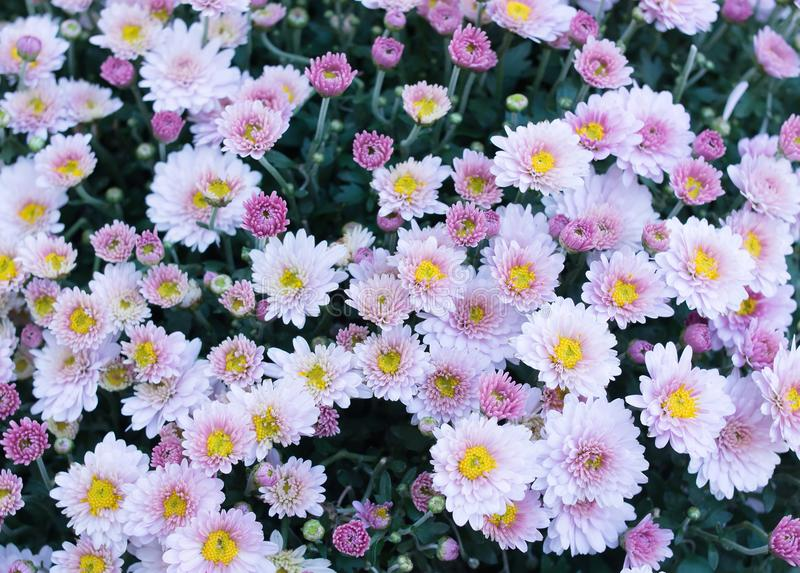 Violet, pink field flowers background, chamomile, daisy, marguerite. Background stock photos