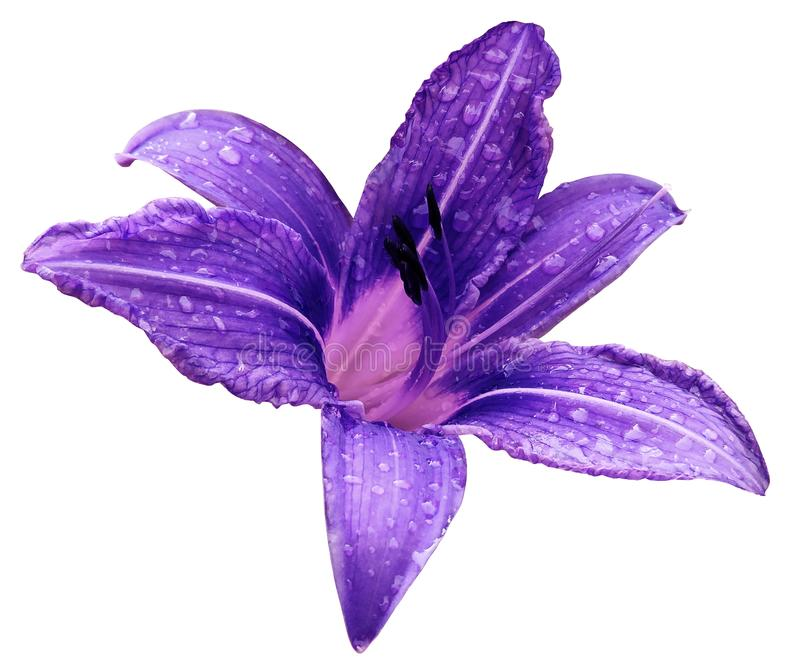 Violet-pink flower lily on a white isolated background with clipping path no shadows. Lily after the rain with drops of water o stock images