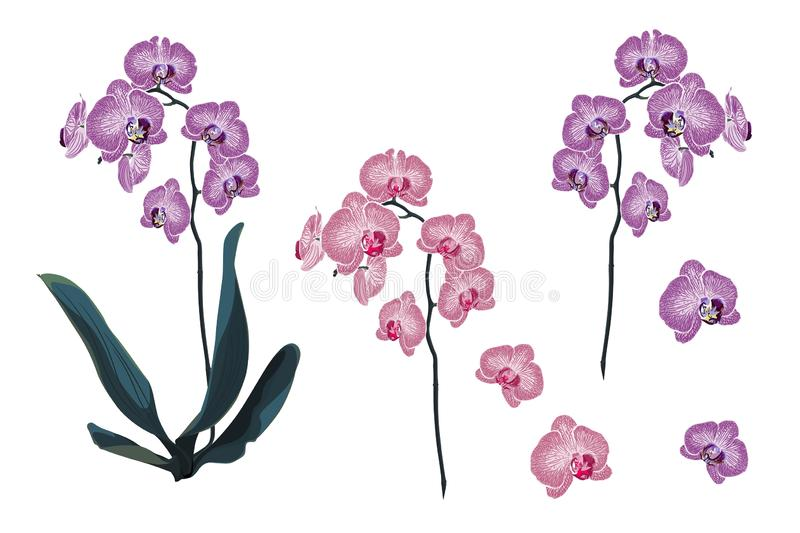 Violet and Pink Orchid Tropical Flowers branch in Watercolor Style. Violet and Pink Orchid Tropical Flowers branch in Watercolor Style isolated on white royalty free illustration