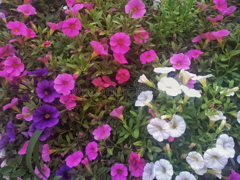Violet, Pink and White flowers royalty free stock image