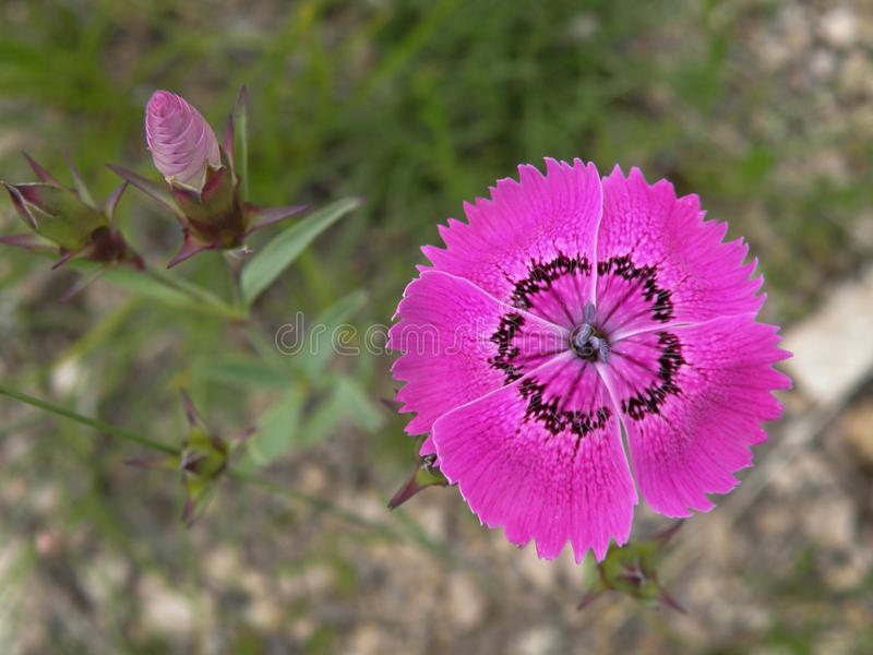 Violet pink wildflower blooms royalty free stock images