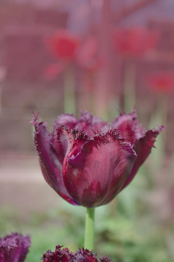 Violet purper tulpen Zwart Juweel met kristallijn omzoomd randen Zwart Juweel stock foto