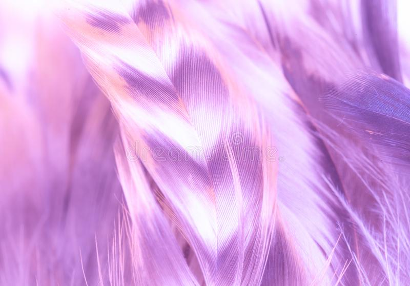 Violet-purple feathers background with texture. Light, soft focus. Delicate fluffy background royalty free stock image