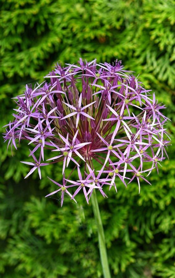 Violet purple green flower stars stock image