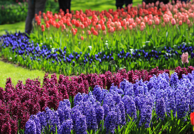 Violet and purple hyacinths in a field with red and pink tulips royalty free stock photo