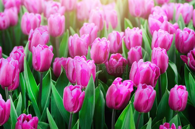 Violet, purple, lilac tulips background. Summer and spring concept, copy space. Tulip flowers field in sunlight. Soft royalty free stock image