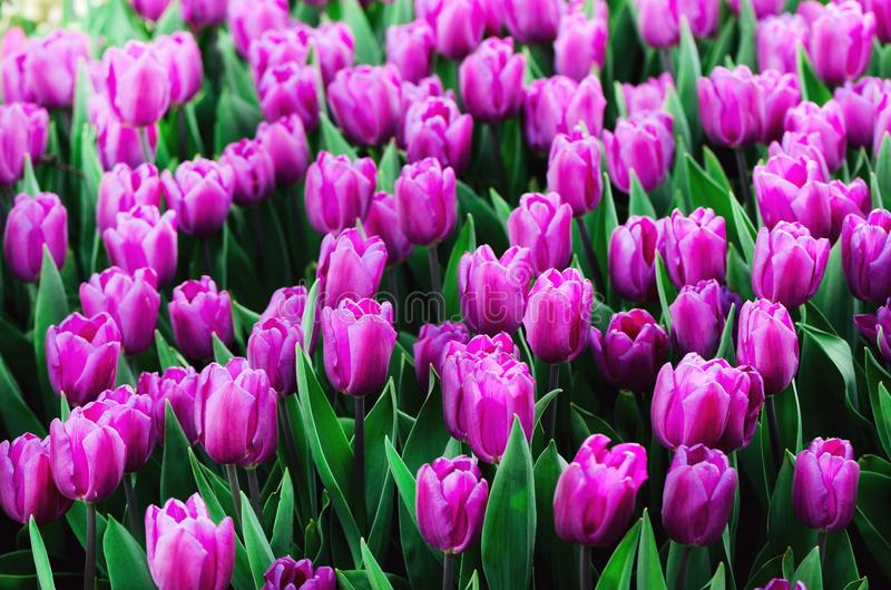 Violet, purple, lilac tulips background. Summer and spring concept, copy space. Tulip flowers field in sunlight. Soft stock photos
