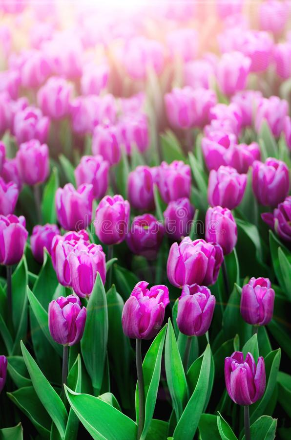 Violet, purple, lilac tulips background. Summer and spring concept, copy space. Tulip flowers field in sunlight. Soft stock photography