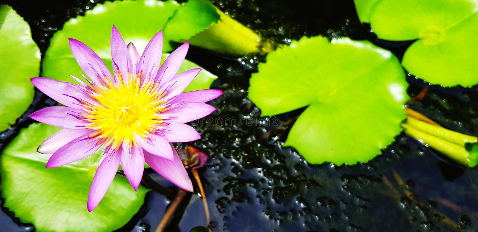 Violet or purple lotus blooming with green leaves and water background royalty free stock photo