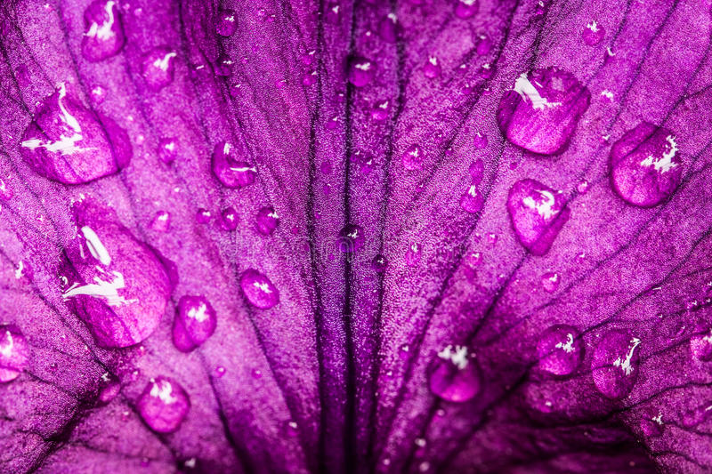 Violet, Purple Petal Of Flower Iris. Beautiful Violet, Purple Petal Of Flower Iris With Drops Of Water. Texture And Background. Close Up stock photo