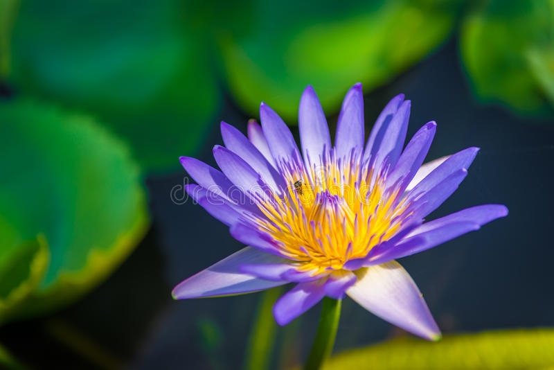 Violet purple water lily lotus blooming with bee. Colorful waterlily or lotus with bee above water stock images