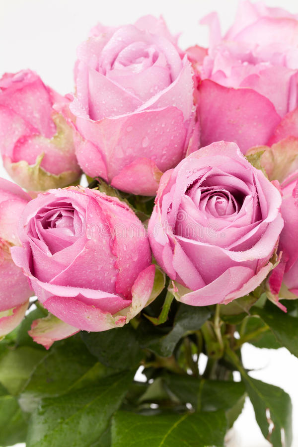 Download Violet rose stock photo. Image of arrangement, flora - 28816700