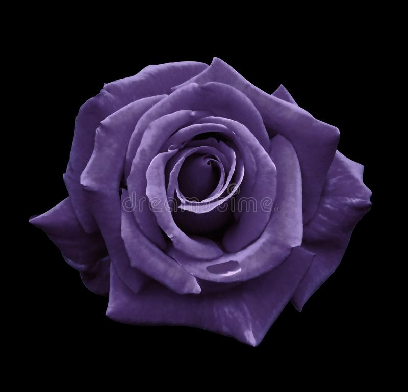 Violet rose on the black isolated background with clipping path. no shadows. Closeup. For design, texture, borders, frame, backgr. Ound. Nature stock photography