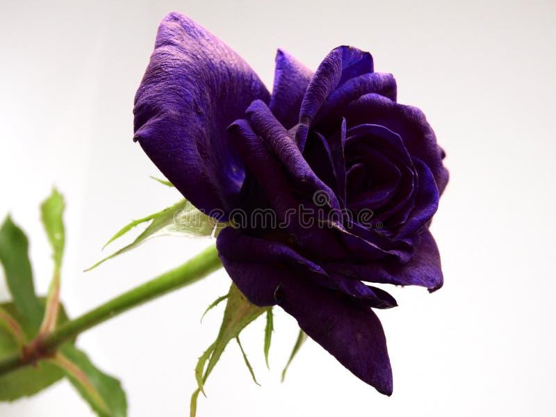 Violet Rose Flower isolada em um fundo branco imagem de stock royalty free