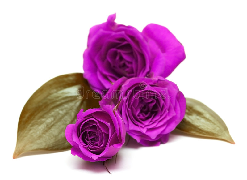 Violet roses. Over white background stock images