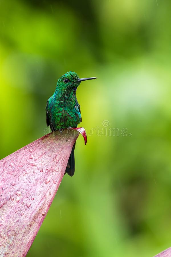 Violet Sabrewing Campylopterus hemileucurus, hovering in the air, garden, mountain tropical forest, Costa Rica. Violet Sabrewing Campylopterus hemileucurus royalty free stock images