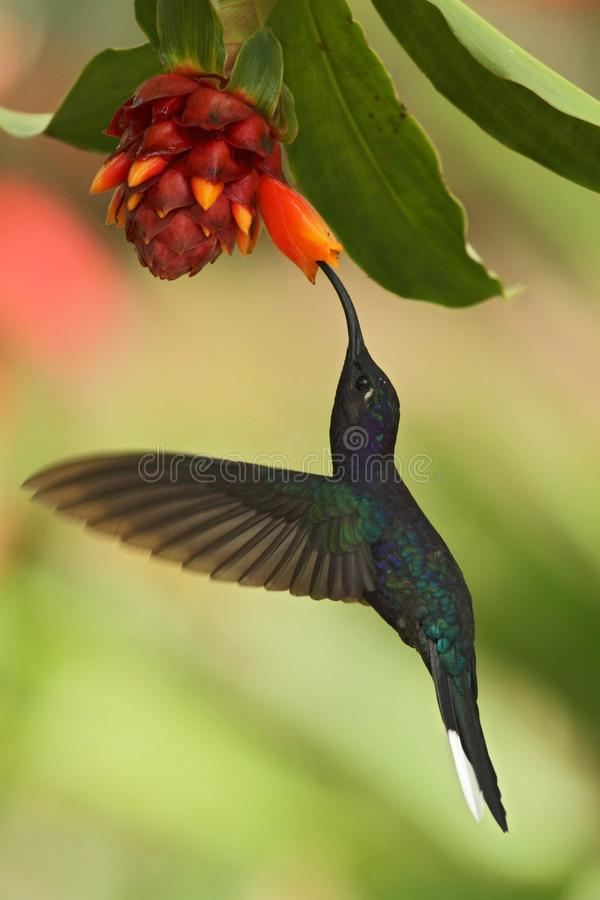Violet Sabrewing Campylopterus hemileucurus, hovering next to orange flower, bird from mountain tropical forest. Waterfall Gardens La Paz, Costa Rica royalty free stock image