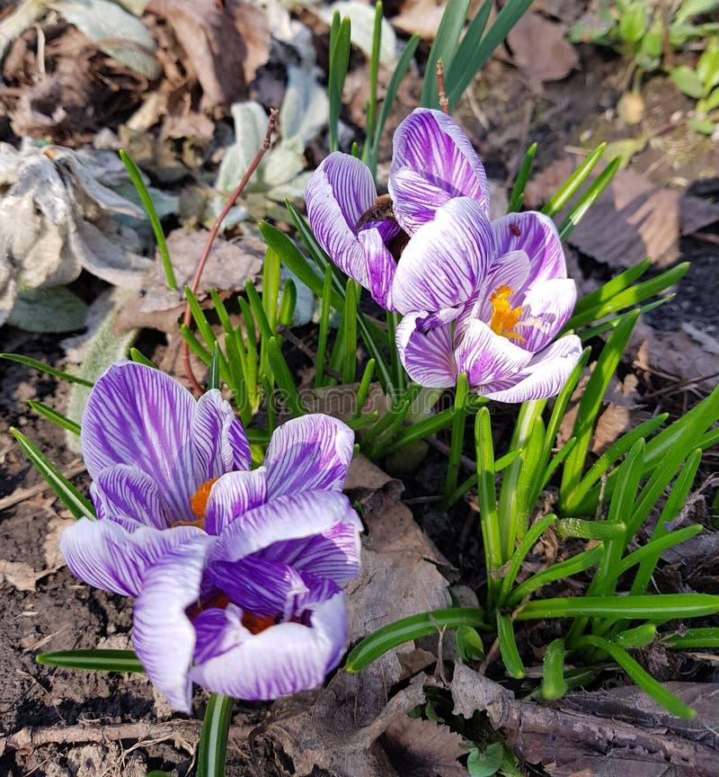 Violet Saffron flowers in forest stock image