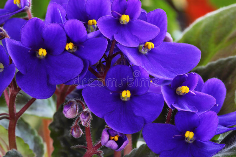 Violet saintpaulia. Closeup over natural background royalty free stock photos