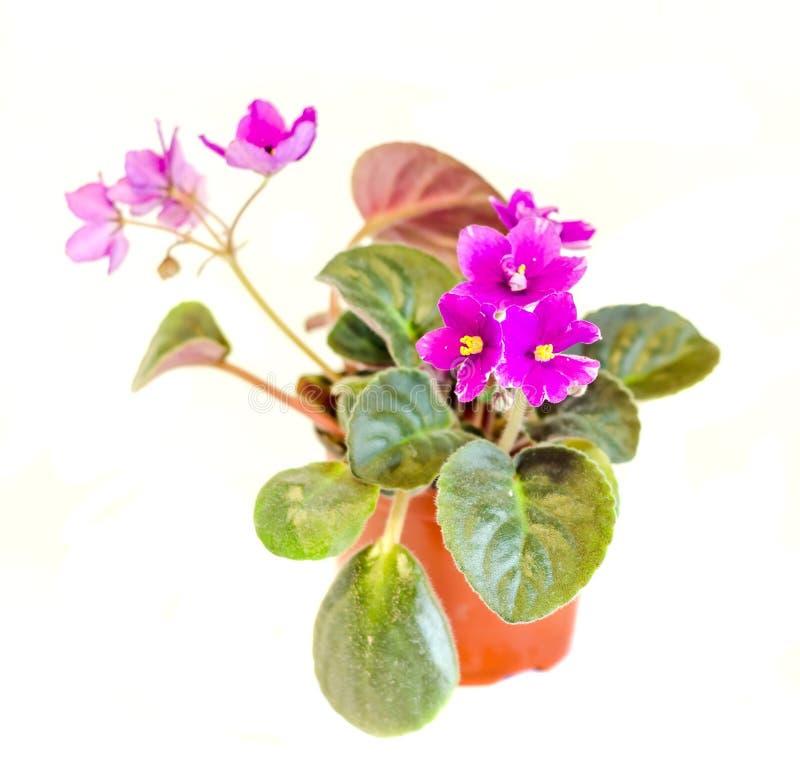 Violet Saintpaulias blüht in einem braunen Vase, allgemein bekannt als Usambaraveilchen, Parma-Veilchen, Abschluss oben, lokalisi lizenzfreies stockbild