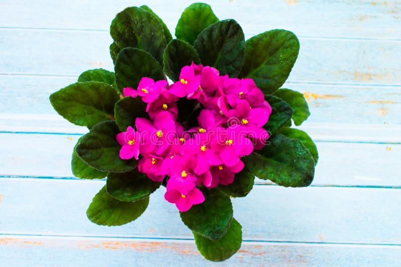 Violet Saintpaulias-bloemen, Weinig roze bloem op het venster royalty-vrije stock foto's