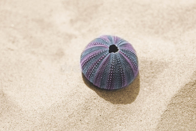 Violet skeleton of sea urchin on sand royalty free stock images