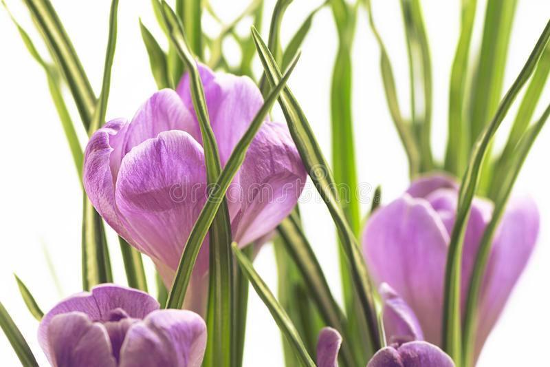 Violet spring crocus flowers growing on white background stock photos