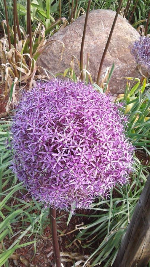Violet Spring Flowers imagen de archivo