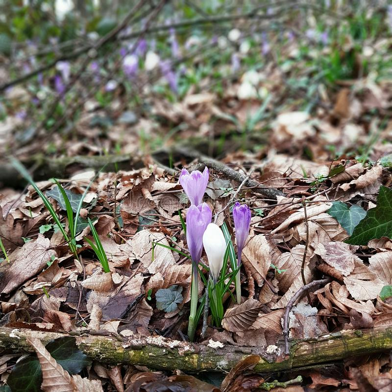 Violet spring flowers in the woods royalty free stock photos