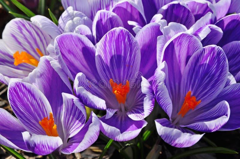 Violet Spring Saffron bloemen royalty-vrije stock foto's
