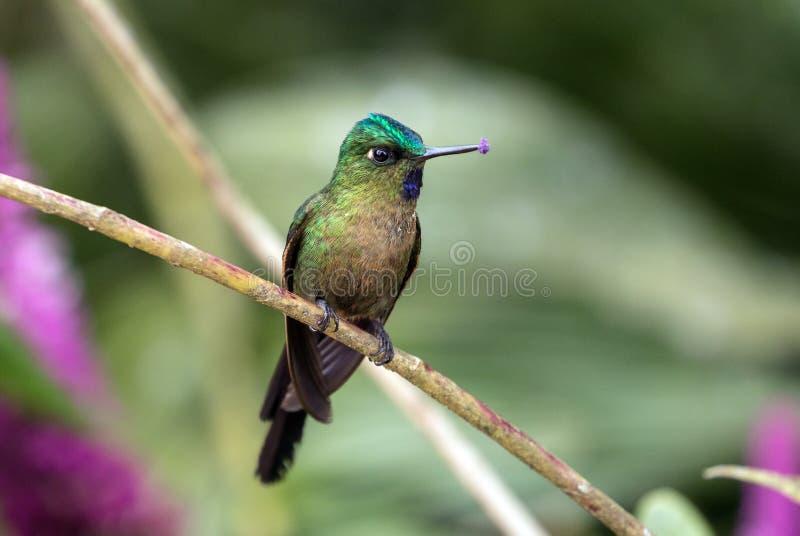 Violet-tailed Sylph  Aglaiocercus coelestis hummingbird,Ecuador royalty free stock photo