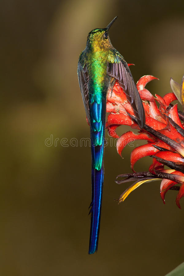 Download Violet-tailed Sylph stock photo. Image of violet, perched - 60085258