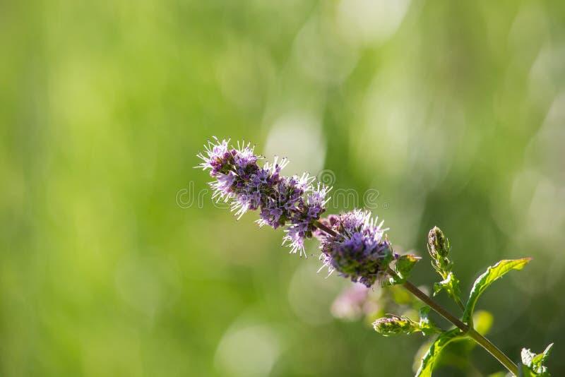Violet Thymus Flowers en puesta del sol fotos de archivo