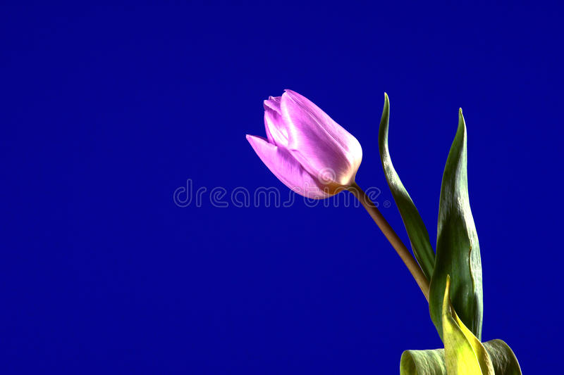 Violet Tulip Flower Royalty Free Stock Photo