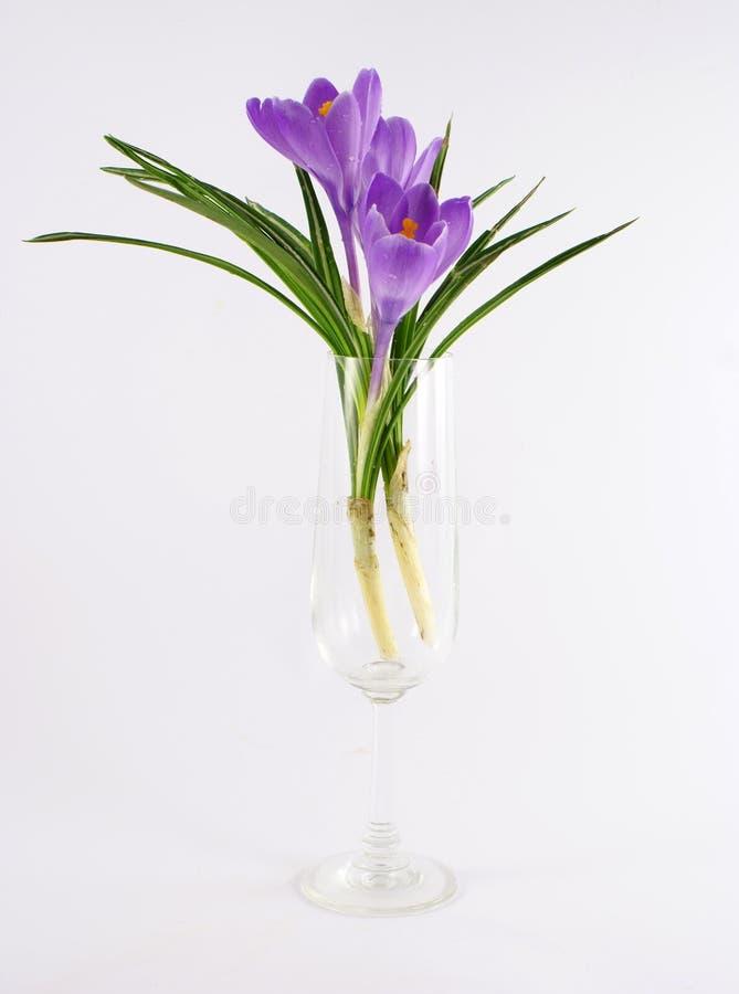 Download Violet Tulip Flower In Vase Stock Image - Image: 2305899