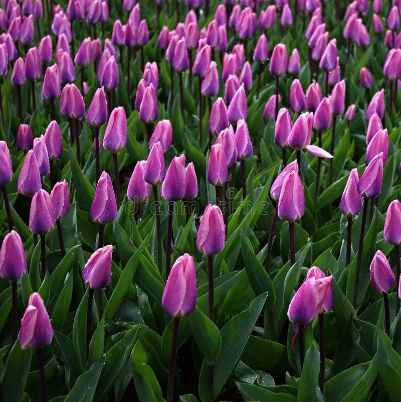 Violet Tulip på Keukenhorf royaltyfri fotografi