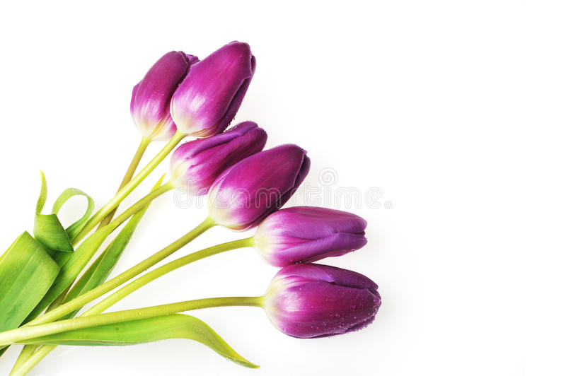 Violet tulips. Bouquet of many violet tulips close up stock photo