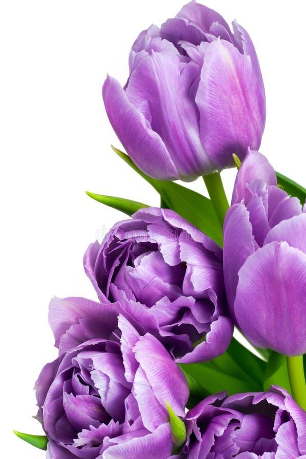 Violet tulips stock photos