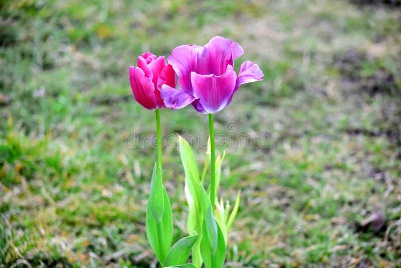 Violet Tulips Tulipa Garden Planting rose beaucoup photo courante photos libres de droits