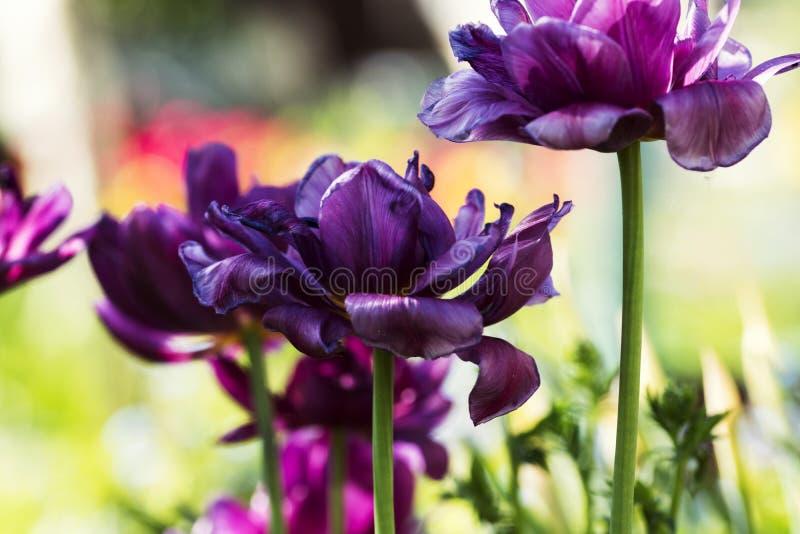 Violet Tulips in zonnige dag stock foto