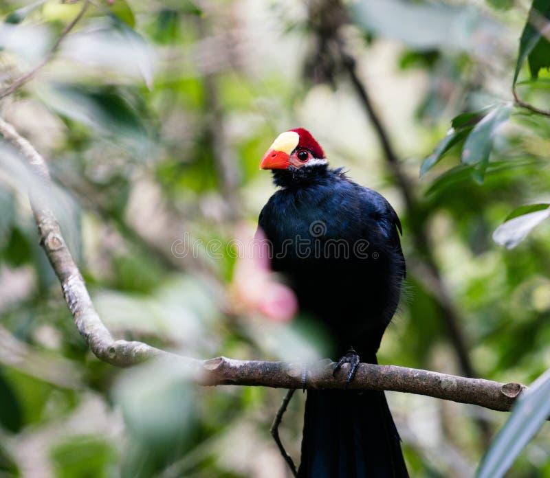 Violet Turaco-vogel in een boom wordt neergestreken die royalty-vrije stock afbeelding