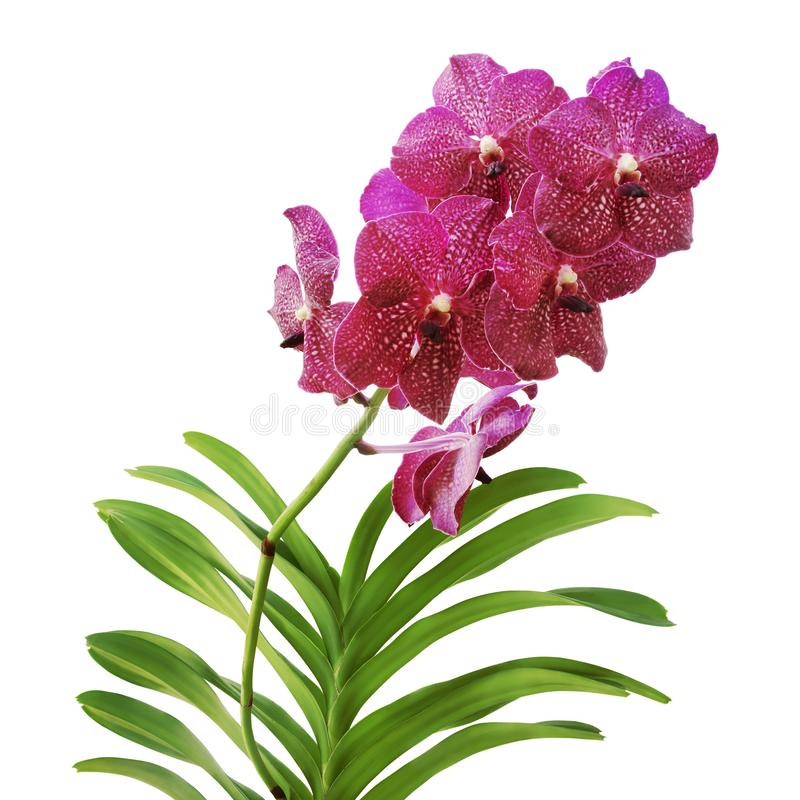 Violet Vanda Orchid Flowers with Green Leaves Isolated on White Background stock image