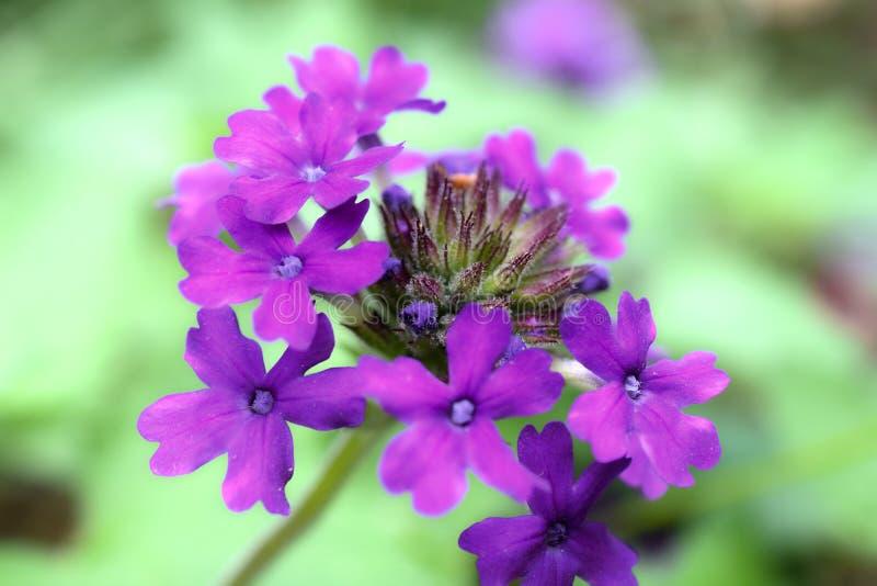 Violet Verbena Hybrid Cluster royalty-vrije stock foto's