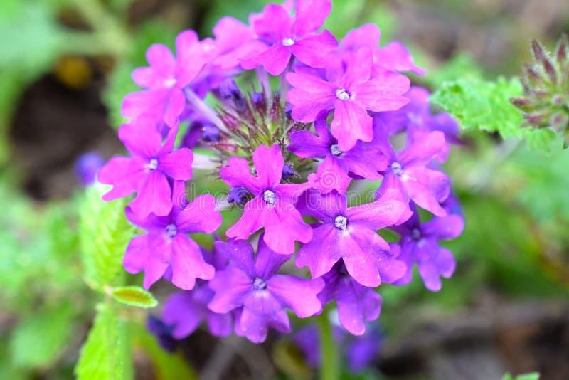 Violet Verbena Hybrid Cluster stock afbeelding