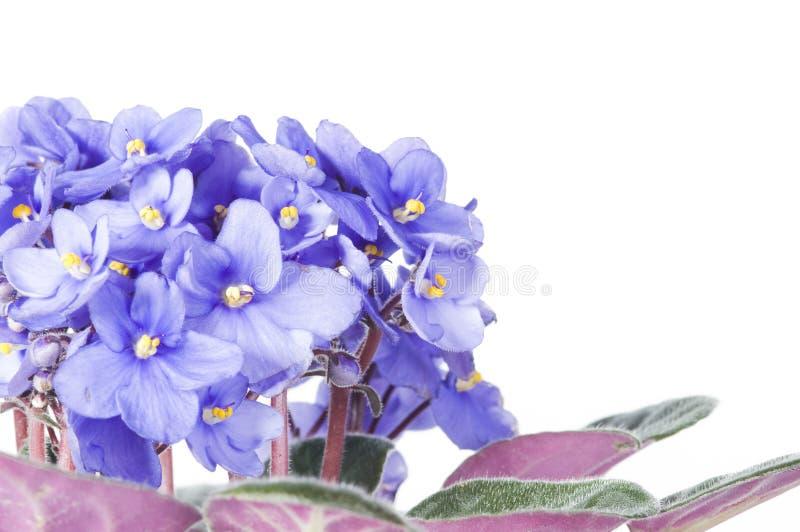 Violet viola flowers