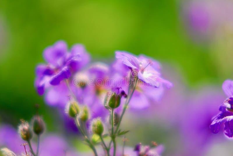 Violet vlas flwoer royalty-vrije stock afbeeldingen
